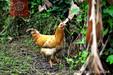 广东清远鸡批发市场在那里,自养的正宗清远土鸡麻鸡东莞那里有