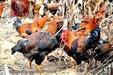 佛山深圳走地土鸡那里有卖忆馨源走地鸡原生态养殖冰袋保鲜当天送达