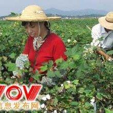 棉花汽油采摘机视频新疆采棉机采棉机对农业的作用