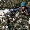 贵行采棉机新疆采棉机新疆大型采棉机价格钵施然采棉机