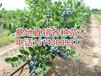批发占地蓝莓苗