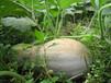 優質蜜本南瓜種子黃皮紅肉南瓜種子