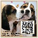 大耳朵比格犬出售纯种比格幼犬繁殖广东暮光狗场直销