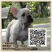 广州法斗犬多少钱一只健康的法斗犬价格暮光狗场