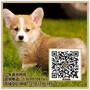 威尔士三色柯基犬出售两色柯基出售广东暮光狗场图片