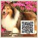 广州纯种喜乐蒂犬价格喜乐蒂健康出售广州哪里有喜乐蒂犬
