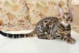 广州哪里有豹猫出售广州豹猫多少钱一只