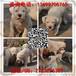 广州高品质猎犬杜高犬多少钱一只广州哪里买到杜高犬
