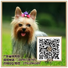 东莞约克夏犬多少钱一只东莞哪里有出售约克夏犬