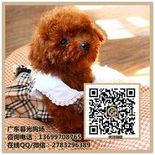 深圳贵宾犬多少钱一只深圳哪里有贵宾小狗出售