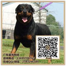 深圳罗威纳犬纯种罗威纳犬价钱罗威纳多少钱一只