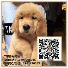 中山听话的金毛犬哪里有卖金毛犬是不是很聪明