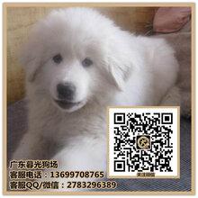深圳大白熊犬小狗哪里有大白熊出售暮光狗场