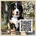 广州伯恩山犬小狗出售巨型伯恩山犬出售暮光狗场