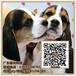 广州健康的比格犬大耳朵出售哪里有比格犬