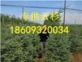 甘肃云杉1米2米3米供应树苗图片