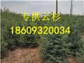 甘肃云杉1.5米2.5米云杉树苗图片