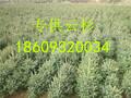 甘肃云杉-云杉基地-云杉价格-云杉树苗图片