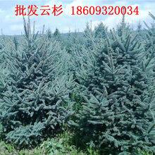 云杉树价格-甘肃云杉工程绿化苗木供应