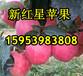 金华红星苹果销售价格