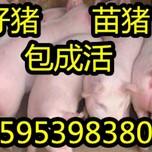 山东三元仔猪苗猪产地价格走势图片