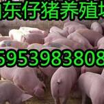 山西朔州三元仔猪市场批发行情图片