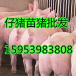 甘肃金昌三元仔猪批发价格图片