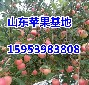 山东红富士苹果价格最新信息红富士苹果今年便宜了