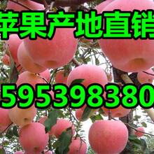 山东苹果价格山东红富士苹果价格红富士苹果收购价格