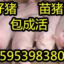 山东三元仔猪在哪里购买