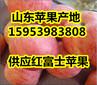 山东精品红富士苹果批发绿色食品
