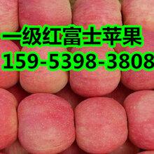 红富士苹果批发价格图片