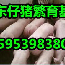 甘肃酒泉三元仔猪产地批发价格图片