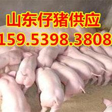 黑龙江大庆三元仔猪今年市场价格图片