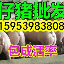 三元仔猪基地今日仔猪价格图片