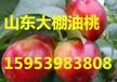 广东油桃批发价格行情