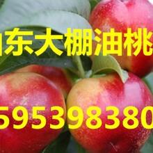 油桃价格山东大棚油桃之乡图片