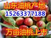 广东油桃批发市场今年大棚油桃价格哪里便宜