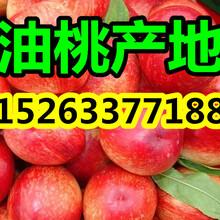 四川油桃市场行情四川油桃市场价格图片