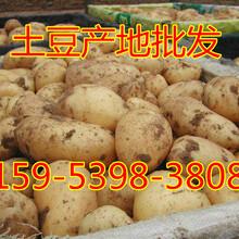 最新土豆价格行情山东土豆价格持续走低图片