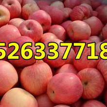 供应山东优质红富士苹果产地批发价格