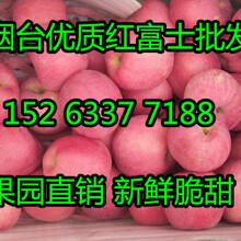山东苹果购销处红富士苹果0.5元/斤批发图片