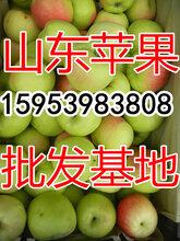 山东藤木苹果基地供应藤木苹果上市价格图片