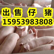 今日三元仔猪价格行情走势仔猪价格行情趋势图片