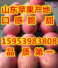 2017山东红星苹果批发价格图片