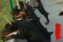 杜宾犬价格;三个月杜宾犬价格小杜宾犬价格图片
