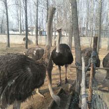 小鴕鳥養殖利潤空間大嗎鴕鳥苗養殖利潤空間大嗎圖片