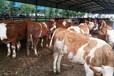 云南?#29287;?#32905;牛犊价格4个月的肉牛犊市场多少钱一头育肥牛价格几个品种