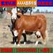 养殖10头肉牛犊的牛舍牛场建设图供应牛犊批发牛犊市场价格
