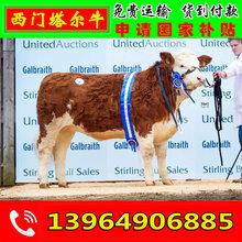 肉牛最好品種育肥肉牛便宜價格泌陽縣養牛圖片